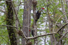Pileated Woodpecker (DFChurch) Tags: sixmilecypressslough pileated woodpecker bird nature animal florida fortmyers