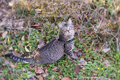 Explorer Sasha (Fred Merchán) Tags: nature cat chat gato kitteh minou lensbabyvelvet56 harness
