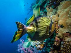 Titan Triggerfish (Stefan Kruse) Tags: uw uwphotography diving divephotography triggerfish fish reef elphinestone wideangle egypt marsashagra redsea scuba underwater olympus stefankruse titan
