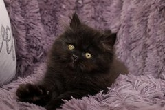 Black Persian Kitten (dollfacepersiankittens.com) Tags: black persian kitten cats kittens doll face cattery breeders trisha johnson tegan teacup for sale photography pets animals felines