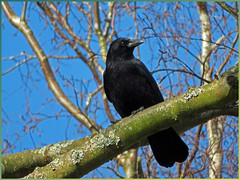 Our Feathered Friends. (GABOLY) Tags: crow kent england february 2019 garden