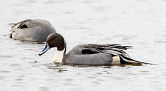7K8A1126 (rpealit) Tags: scenery wildlife nature edwin b forsythe national refuge brigantine northern pintail duck bird