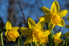 Daffodils (20190224) (Graham Dash) Tags: daffodils flowers 2019pad