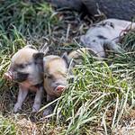 Three mini piglets thumbnail