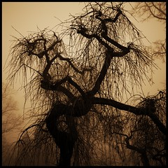 uncempt (luci_smid) Tags: tree branches sepia impression