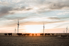 Herd of Wagyu Cattle at Sunrise with Wind Farm (kaylasmithphoto) Tags: wagyu beef cattle cow herd farm farming ranch ranching sunrise wind agriculture ag texas pasture plains field morning tx midwest western cowboy cows renewable energy windy clouds