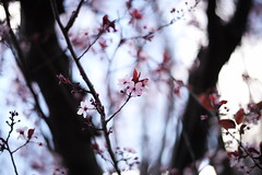 spring 2019 / 2 (peaceblaster9) Tags: spring tree blossom cherry flower sky cloud nature leica 春 桜 空 散歩 花 木 スナップ