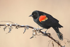 Red winged Blackbird (Steve Rossi 2) Tags: blackbird red winged wildlife ontario migration steverossi canon eosr spring
