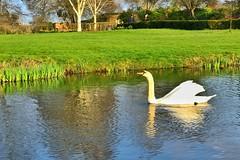 Hever Castle (gary8345) Tags: iphone uk unitedkingdom england garden snapseed 2019 britain gardens greatbritain swan