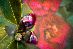 Our Camellia is finally flowering (judy dean) Tags: judydean 2019 lensbaby texture ps camellia red buds flower leaves