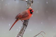 Mr Cardinal-40838.jpg (Mully410 * Images) Tags: birdwatching male cardinal winter backyard northerncardinal bird snow birds birding birder snowing