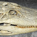 Alligator mississippiensis skull (American alligator) 4