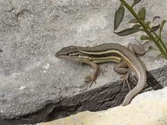 LAGARTIJA (BLAMANTI) Tags: lagartos lagartija lagarto reptiles saurio canon canonpowershotsx60 blamanti