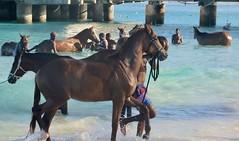 Race Horses in Barbados (mikeginn12000) Tags: racehorses horses barbados bajan canon ocean beach