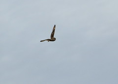 IMG_9755 (monika.carrie) Tags: monikacarrie wildlife seo shortearedowl forvie scotland owl