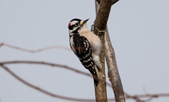 7K8A6961 (rpealit) Tags: scenery wildlife nature wallkill river national refuge downy woodpecker bird