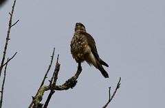 Merlin (wvsawwhet) Tags: merlin westvirginia wv westvirginiabirds bird birding birds birdwatching birdsofwestvirginia raptor fairmont falcon marioncounty