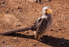 Southern Yellow-billed Hornbill (Steve Clarridge) Tags: southernyellowbilledhornbill birds hornbill africanbirds