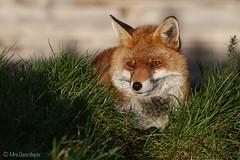 Red Fox (captive) (Mrs.Geordiepix) Tags: red fox