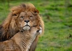 Lion Love (CountryGaz) Tags: doncaster unitedkingdom yorkshire nikkor still eyes family mate chin captured capture picture hobby passion wild handheld glass power teeth grass orange ginger furr africa mammal animal lionlove snuggle hug afs f4 300mm lense park zoo country photography cat king natural respect loyal affection love wildlifephotography wildlife yorkshirewildlifepark 300mmf4 nikond500 d500 female male lion uk nikon