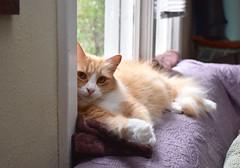 Jimmy (rootcrop54) Tags: jimmy orange ginger tabby male longhair longhaired window sofa couch cat neko macska kedi 猫 kočka kissa γάτα köttur kucing gatto 고양이 kaķis katė katt katze katzen kot кошка mačka gatos maček kitteh chat ネコ
