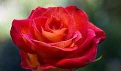 Light & Colours (AnyMotion) Tags: rosa rose roses petals blütenblätter blossom blüte bokeh vase focusstacking 2015 floral flowers frankfurt plants anymotion nature natur makro macro colors colours farben red rot 6d canoneos6d makroaufnahmen ngc npc