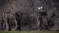 Call of the wild (The eclectic Oneironaut) Tags: 2019 6d canon eos madrid manzanareselreal españa es storks birds tree