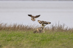 Kestrel and Short Eared Owl confrontation (Iain fuller) Tags: confrontation owl shortearedowl kestrel