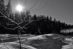 Winter day. Monochrome. (ALEKSANDR RYBAK) Tags: изображения зима сезон погода природа снег сугробы мороз холод монохромный солнце солнечный свет тени лес деревья пейзаж images winter season weather nature snow drifts frost cold monochrome sun solar shine shadows forest trees landscape