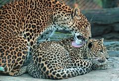 shrilankan panther Burgerszoo 094A0333 (j.a.kok) Tags: animal asia azie predator panter panther pantheraparduskotiya mammal zoogdier dier cat kat shrilankapanter shrilankanpanther shrilankanleopard shrilankaansepanter shrilanka jaffna moederenkind motherandchild burgerszoo burgerzoo