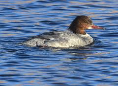 Mrs Goosander (Grumpys Gallery) Tags: goosander birds ducks wildlife nature