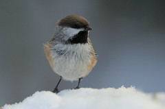 Mésange à tête brune (Marie-Helene Levesque) Tags: oiseau abitibi valdor côte mesange mésangeàtêtebrune mariehélène mariehelene