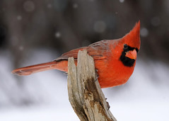 _A999974 (mbisgrove) Tags: red bird a99ii a99m2 ontario cardinal sony feathers sal70400g2 snowflake bisgrove snow canada