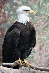American sea eagle - Prague zoo (Mandenno photography) Tags: animal animals dierenpark dierentuin dieren american eagle sea seaeagle bald baldeagle prague praag zoo bird birds birdofprey