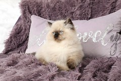 Seal Point Himalayan (dollfacepersiankittens.com) Tags: kittens for sale doll face persian himalayans himalayan color point photography cat cutekittenpictures cutecatpictures cutekittens cutecats breeders
