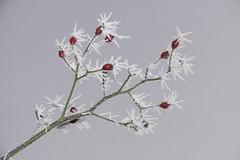 (BS-Foto) Tags: leica vlux1 vlux bsfoto winter hiver ice eis frost leicavlux leicavlux1 heckenrose raureif red rot rouge grün green vert blanc weis white
