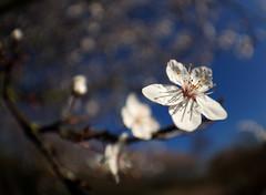 February Hawthorn blossom (#Dave Roberts#) Tags: global warming february sun blossom flower hawthorn glorious blue sky fisheye macro close up bokeh wwt barn elms wildlife wild london uk