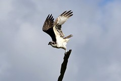 Ready For Take Off (Diane Marshman) Tags: osprey brown white tan feathers large fish hawk tree branch takeoff action movement motion wings spread up ready summer pa pennsylvania nature wildlife