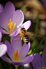 Frühlingserwachen 5 (ES9262) Tags: biene nikon d7200 sigma 105mm makro insek insect by flight