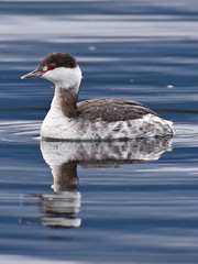 It was a one eyed, one horned... (Snixy_85) Tags: grebe hornedgrebe podicepsauritus