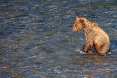 Hmmm...Do I See a Salmon (jpmckenna - Madagascar Trip Now) Tags: katmai katmainationalpark bears brownbears brooksfalls alaska
