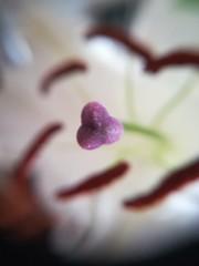 Lily Stigma (daveandlyn1) Tags: stigma lily closeup macro depthoffield dof smartphone psdigitalcamera cameraphone pralx1 p8lite2017 huawei indoors flower