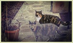 Incontri (Pepenera) Tags: cat cats chat gatto gato gatti