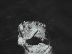 no. more. no. sense. (I'mCarina️️ ✭) Tags: cachorro cão dog buldoguefrancês frenchbulldog buldogue bulldog escuro escuridão sombra shadow luz light amor love amigo friend animal pet animaldeestimação cute branco white black blackandwhite bw preto pretoebranco brasil brazil br ♥brasil