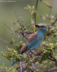 European Roller (leendert3) Tags: leonmolenaar southafrica krugernationalpark wildlife nature birds europeanroller ngc npc coth5