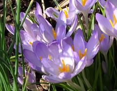 DSC00042 Crocus (PeaTJay) Tags: sonydschx90 zeiss england uk gb royalberkshire reading lowerearley berkshire macro micro closeups gardens outdoors nature flora fauna plants flowers crocus