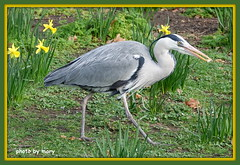Heron (maryimackins) Tags: heron st james park london wildlife mary mackins
