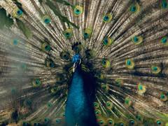 H Y P N O S E (Vivi Black) Tags: nature focus light outside graceful feathers beauty blure animal peacock