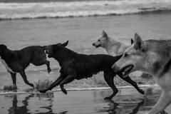 Perros felices, La Serena, Chile (Mario Rivera Cayupi) Tags: animals animales mar sea laserena chile perros dogs freedom libertad happiness felicidad sand arena canon80d canon70200mmf28lisusm