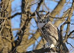 Great Horned Owl...#4 (Guy Lichter Photography - 4.7M views Thank you) Tags: canon 5d3 canada manitoba winnipeg wildlife animal animals bird birds owl owls greathornedowl